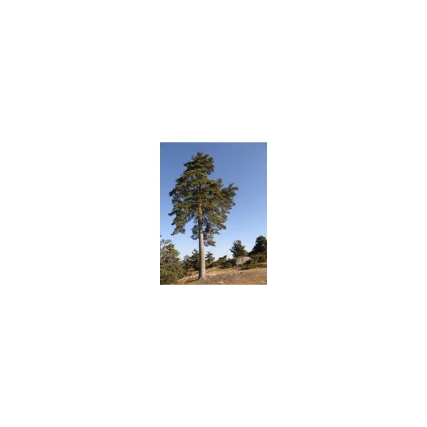 Huiles essentielles Pin sylvestre 5ml