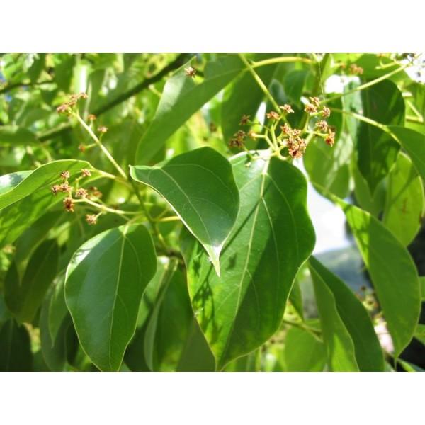Huiles essentielles Ravintsara douce 5ml