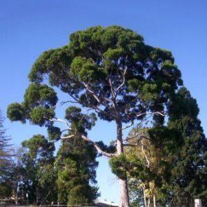 Huile essentielle d'Eucalyptus Citronné bio 10 ml