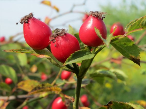 Huile de Rose Musquée vierge bio 60 ml