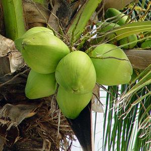 Huile de coco fractionnée bio 60 ml